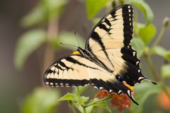 Borboleta de Swallowtail do tigre imagens de stock