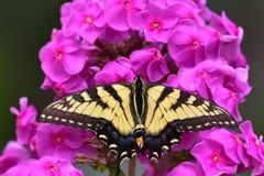 Borboleta de Swallowtail do tigre Imagem de Stock