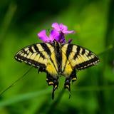 Borboleta de Swallowtail do tigre Fotografia de Stock
