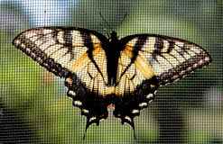 Borboleta de Swallowtail do tigre de Easter fotos de stock
