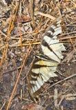 Borboleta de Swallowtail do tigre desgastada e batida Imagens de Stock Royalty Free