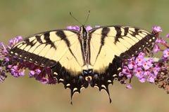 Borboleta de Swallowtail do tigre (glaucas do papilio) imagens de stock royalty free