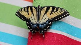 Borboleta de Swallowtail do Velho Mundo video estoque