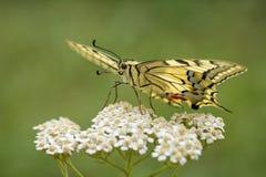 Borboleta de Swallowtail do Velho Mundo - machaon de Papilio foto de stock royalty free