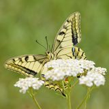 Borboleta de Swallowtail do Velho Mundo - machaon de Papilio fotografia de stock