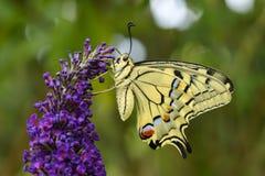 Borboleta de Swallowtail do Velho Mundo - machaon de Papilio imagem de stock