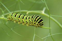 Borboleta de Swallowtail do Velho Mundo - machaon de Papilio imagem de stock royalty free