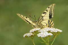 Borboleta de Swallowtail do Velho Mundo - machaon de Papilio fotografia de stock royalty free