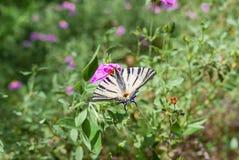 Borboleta de Swallowtail do Velho Mundo que recolhe o néctar fotografia de stock royalty free