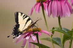 Borboleta de Swallowtail em flores do cone fotos de stock royalty free