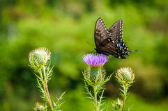 Borboleta de Swallowtail em flores no parque nacional de Shenandoah, Vi imagens de stock royalty free