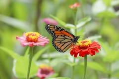 Borboleta de Swallowtail em uma flor fotografia de stock