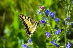 Borboleta de Swallowtail em uma flor imagem de stock