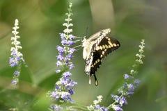 Borboleta de Swallowtail em Vitex fotografia de stock royalty free