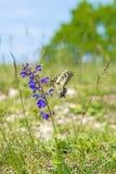 Borboleta de Swallowtail, machaon de Papilio imagem de stock
