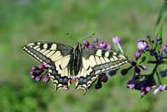 Borboleta de Swallowtail, machaon de Papilio Machaon bonito da borboleta no ramo de um lilás de florescência imagens de stock