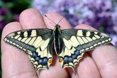 Borboleta de Swallowtail, machaon de Papilio Machaon bonito da borboleta no ramo de um lilás de florescência imagens de stock royalty free