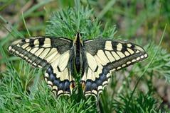 Borboleta de Swallowtail, machaon de Papilio Machaon bonito da borboleta no ramo de um lilás de florescência fotos de stock