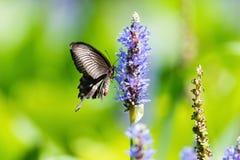 Borboleta de Swallowtail na flor foto de stock