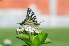Borboleta de Swallowtail na flor branca fotos de stock royalty free