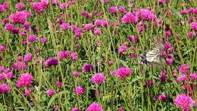 Borboleta de Swallowtail na flor video estoque