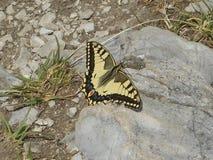 Borboleta de Swallowtail nas montanhas de Áustria imagem de stock royalty free