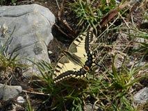 Borboleta de Swallowtail nas montanhas de Áustria foto de stock