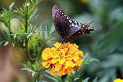 Borboleta de Swallowtail no cravo-de-defunto fotografia de stock royalty free