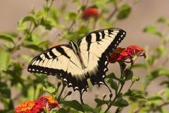 Borboleta de Swallowtail no Lantana alaranjado imagens de stock royalty free