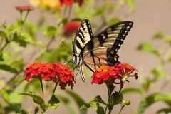 Borboleta de Swallowtail no Lantana alaranjado imagem de stock royalty free