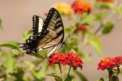 Borboleta de Swallowtail no Lantana alaranjado Foto de Stock