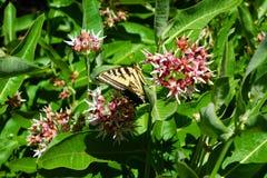 Borboleta de Swallowtail no Milkweed fotos de stock royalty free