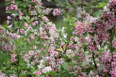 Borboleta de Swallowtail no Weigela imagens de stock