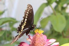 Borboleta de Swallowtail no Zinnia foto de stock