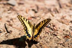 Borboleta de Swallowtail ou de machaon de Papilio fim fotos de stock royalty free