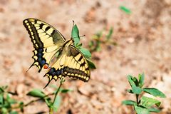 Borboleta de Swallowtail ou de machaon de Papilio fim foto de stock