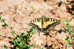 Borboleta de Swallowtail ou de machaon de Papilio fim imagem de stock royalty free