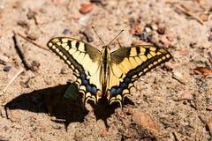 Borboleta de Swallowtail ou de machaon de Papilio fim fotografia de stock royalty free
