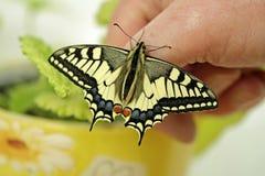 Borboleta de Swallowtail, proteção da espécie fotografia de stock royalty free