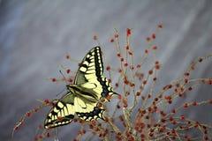 Borboleta de Swallowtail, proteção da espécie fotografia de stock