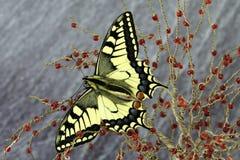 Borboleta de Swallowtail, proteção da espécie imagem de stock