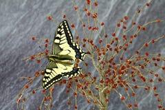 Borboleta de Swallowtail, proteção da espécie imagem de stock royalty free