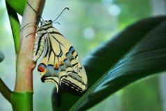 Borboleta de Swallowtail que senta-se na planta verde da haste da planta de borracha, perfil, bokeh macio foto de stock