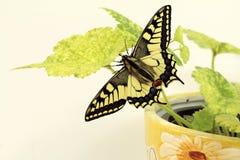 Borboleta de Swallowtail, segura os insetos imagem de stock
