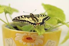 Borboleta de Swallowtail, segura os insetos fotografia de stock royalty free
