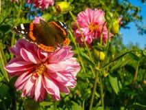 Borboleta de Vanessa Atalanta na flor cor-de-rosa da dália fotos de stock royalty free