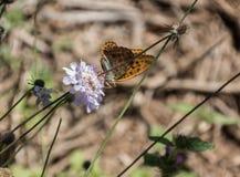 A borboleta delicada Imagem de Stock Royalty Free