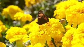 Borboleta do almirante que senta-se em uma flor amarela filme