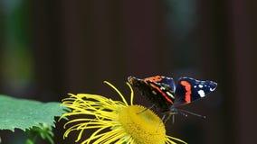 A borboleta do almirante vermelho (atalanta de Vanessa) recolhe o néctar na flor da ênula video estoque