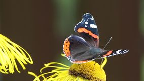 A borboleta do almirante vermelho (atalanta de Vanessa) recolhe o néctar na flor da ênula vídeos de arquivo